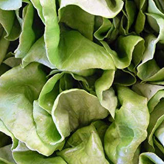 3000 Pcs White Boston Lettuce Vegetable Seeds #SSNH