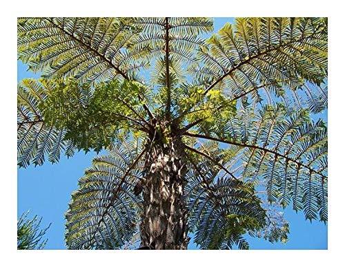Cyathea vaupelii - Fougère arborescente - 10 graines