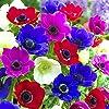 Humphreys Garden Anemone De Caen x 200 Bulbs bulbi da fiore Size 3/4 #1