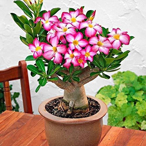 UEYR Rosa del Desierto Semillas para ing Semillas de adenium obesum a Crecer Bonsai s