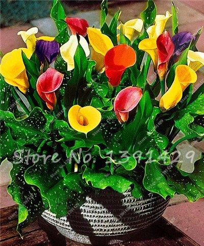 SVI 200 graines de Calla, Calla bulbes, Chambre Fleurs Rhizome Zantedeschia aethiopica, Bonsai Plantes d'appartement Jardin de la Maison Plante en Pot Mostra in Picture 15