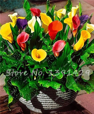 200 Seeds Calla Lily Bulbs, Flowers Aethiopic Room Rizoma Zantedeschia, Bonsai Indoor Home Garden Plant Pot 15