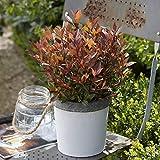 Photinia x fraseri'Chico'   Glanzmispel   Grün-Rotes Blatt   Pflanzen für Garten   Höhe 20-30cm  ...