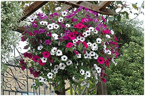 Lot de 50 graines Petunia pendants Balcony Mix (pendaison modérée) - annuelle