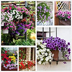 Petunia Seeds80000+Pcs 'Colour-Themed Collection'(Rainbow Colors) Perennial Flower Mix Seeds,Flowers All Summer Long,Hanging Flower Seeds Ideal for Pot