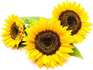 Sunflower Grow Kit with Starter Mammoth Sunflower Seeds to Plant!