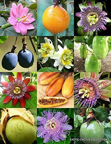 mélange PASSIFLORA - FRUIT DE LA PASSION vigne exotique comestible fleur tropicale graines -15 graines