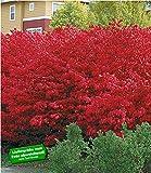BALDUR-Garten Euyonimus Compact 'Burning Bush' Spindelstrauch