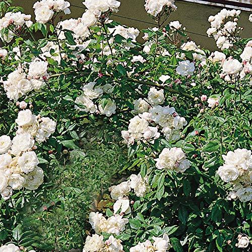 Aimée Vibert, rosa rampicante antica rifiorente in vaso di Rose Barni®, pianta di rosa rampicante di gran pregio, vigorosa, rifiorente, profumata e con fiori di color bianco neve, cod. 14005
