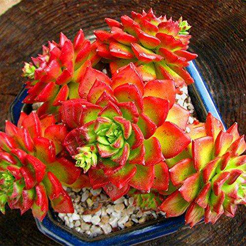 TENGGO Egrow 100Pcs/Bolsa Sedeveria Letizia Cactus Semillas Lotus Lithops Suculento Bonsai Semilla de Flor en Maceta