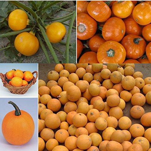 Graines de fruits ornamentales, graines de citrouille non sont comestibles, jaune belle Hermosa du Kumquat Melon, autour de 50 particules