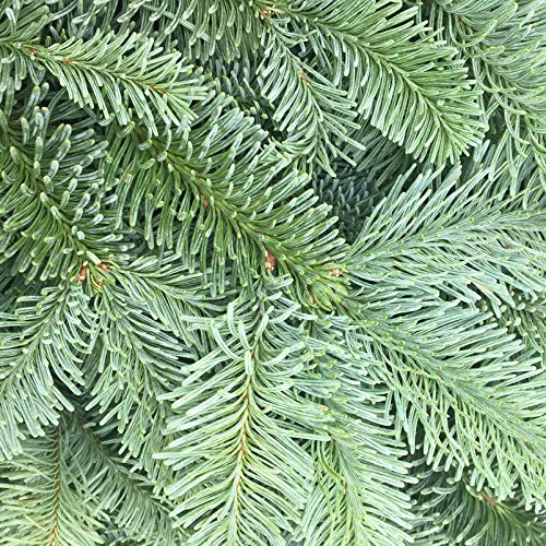 Pflanzen Kölle Nobilis Tannenzweige, Abies nobilis, je ca. 1kg, 4er-Set