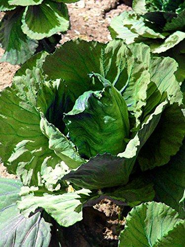 Weißkohl 'Marner Lagerweiß' (Brassica oleracea) 50 Samen Weißkraut Kappes Kabis
