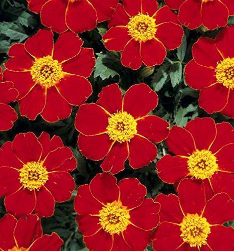 French Marigold Tagetes patula Disco Red - Studentenblume - 10 Samen