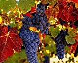 New Hierloom Rare French Cabernet Sauvignon Grape Bush Organic Seeds, Professional Pack, 15 Seeds / Pack, Grape Wine Tasty Fruit E3085