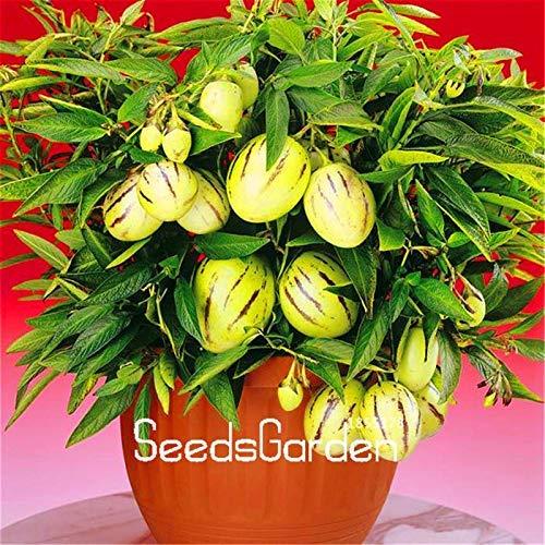 Pinkdose 100 Teile/los Echt!Melonenbaum-Bonsai, Pepino-Pflanzen, Obstgarten, Nicht GVO, Organische Frucht