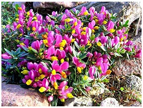 9cm Pot Shrub - Polygala Chamaebuxus Grandiflora (Kamnisky/Creeping Milkwort) Low Growing Garden Plant