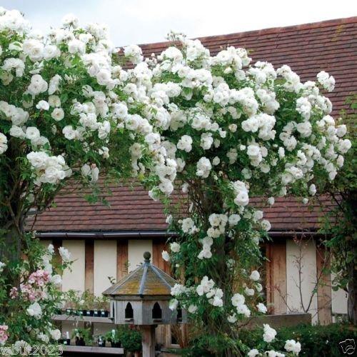 Kletterrose Samen, weiße Blüten, Stauden, Zaun, Säule, Schuppen Gartendekoration Blume 20pcs AA
