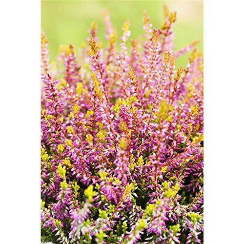 Calluna, Winterharte Knospenheide Erika Gardengirls® 'Bonita' pink-lila - in Gärtnerqualität - 12 cm