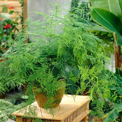 Planta de Interior Asparagus Plumosus - 1 x Planta de Helecho Viva en Maceta de 12cm