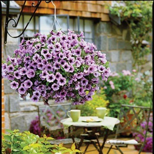 20 graines / paquet pétunia Hanging graines de fleurs importées semences résistant à la chaleur vagues pluie de lumière