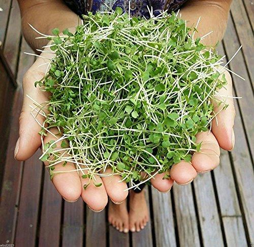 Senape Microgreen - WASABI (Brassica juncea) Grow tutto l'anno, 5 giorni microgreens (1 seeds oz pacchetto)