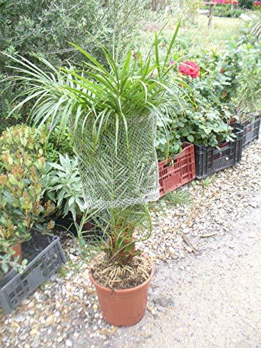 Phoenix roebelenii, Zwerg-Dattelpalme, eine Pflanze