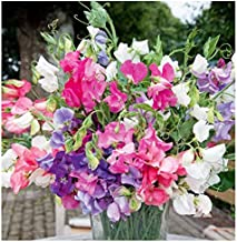 Bijoux Sweet Pea Mixed Seeds - Approximately 65 Seeds