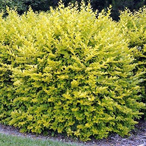 Gold Privet Hedging Plants 20-40cm Ligustrum Aureum Evergreen Hedge Potted (5 Plants)