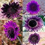 Daisy Garden 100Pcs Rare Purple Sunflower Seeds Beautiful Flower Home Garden Ornament