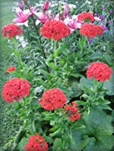 Best red rose campion Reviews