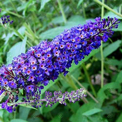 Buddleia davidii 'Empire Blue' Butterfly Bush Scented Garden Shrub   9cm Pot