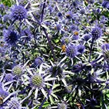 Sea Holly- Eryngium- Blue- 100 Seeds