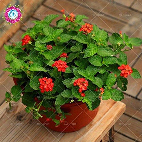 New Lantana Camara en pot Graines 50Pcs / sac Fleurs rares pour le jardin Plantation d'Fleurs Bonsai Semillas de Flores Livraison gratuite 7