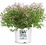 Premier Plant Solutions 20264 Yuki Cherry Blossom Proven Winner Deutzia, 2 Gallon, Pink