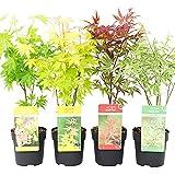 4x Acer palmatum | Lot de 4 variétés d'Érables du Japon | Arbustes résistants pour haies | Hauteur 30-35cm | Pot Ø 10,5cm