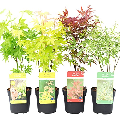 4x Acer palmatum   4er Set Fächerahorn   Winterharte Pflanzen für Garten   Höhe 30-35cm   Topf-Ø 10,5cm