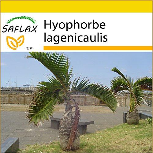 SAFLAX - Anzucht Set - Flaschenpalme/Faßpalme - 3 Samen - Hyophorbe lagenicaulis