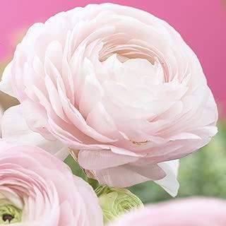 Van Zyverden Butter Cups Ranunculus Pink Set of 25 Bulbs