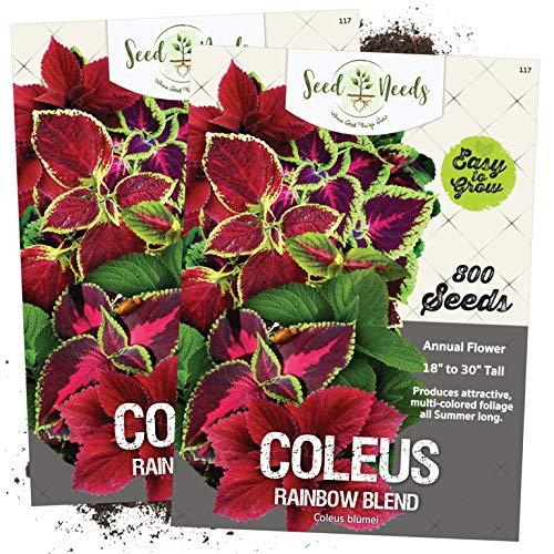Seed Needs, Rainbow Coleus Mix (Coleus blumei) Twin Pack of 800 Seeds Each