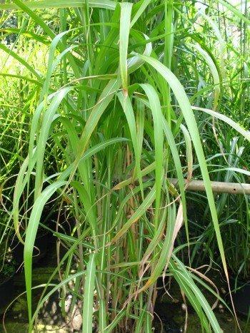 Chinagras Riesen Chinaschilf Miscanthus sinensis giganteus im 10 Liter Pflanzcontainer