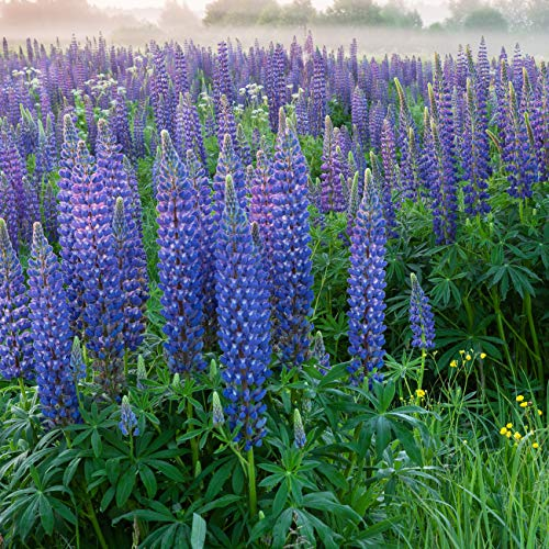Outsidepride Perennial Lupine Plant Seeds - 500 Seeds