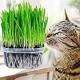 Handfly Cat Grass Seeds Mini Organic Pet Grass Kit Plant Seeds Home Garden Organic Wheat Grass Plant Grow Wheatgrass for Pets: Dog, Cat, Bird, Rabbit (1PC)