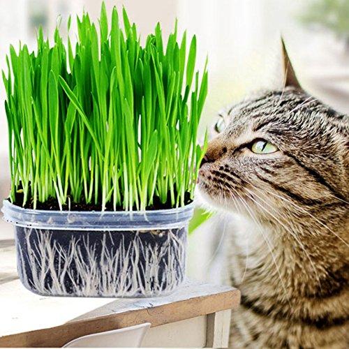 Blaward Semilla de hierba de gato, plantas de alta tasa de supervivencia para el control de bolas de pelo de gato, cultivo de gato saludable (alrededor de 400 granos/paquete)