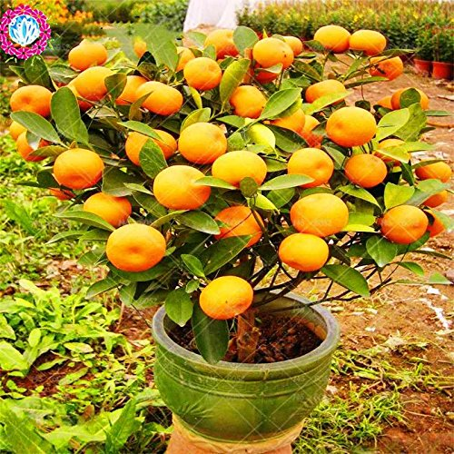 20pcs / sac de graines d'arbre orange nain Bonsai Mandarine Graines arbre comestible de fruits pour plantes potagères grand pot 4