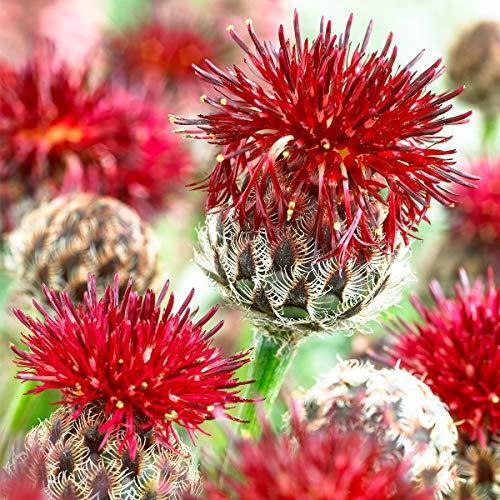 Keland Garten - Raritäten Rote Berg-Flockenblume, Immergrüne Staude, Blumensamen winterhart mehrjährig für trockene Gartenpartien/Staudenbeet