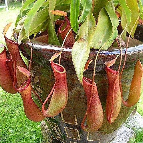 50 pièces/Lot Multifarious Graines Nepenthes Plante carnivore Bonsai Dionaea géant clip Graine Dionée plante dans le jardin Violet