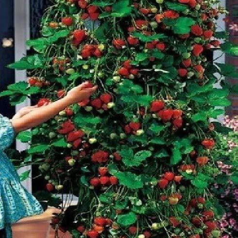 Perte de promotion! 200 PCS / Lot Escalade Graines Red Strawberry Avec GOÛT salubres * NON-OGM Strawberry mont Everest * COMESTIBLES * Frui