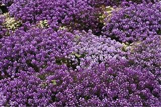 Sweet Alyssum 'Violet Queen' (Lobularia Maritima (L.) Desv.) Flower Plant Seeds, Annual Purple Heirloom