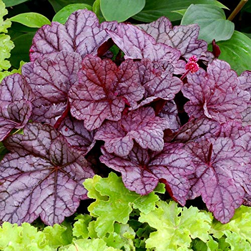 Live Plant - Heuchera Sugar Plum Purple Villosa Coral Bells - 2.5